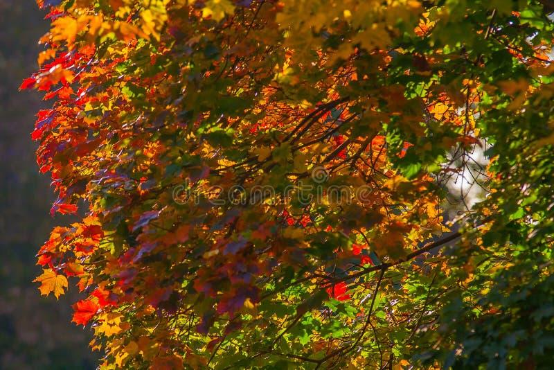 """Härlig höstlönn med röd, orange, gul och grön sida†""""ett fragment av ett träd, naturen av Ryssland arkivbild"""