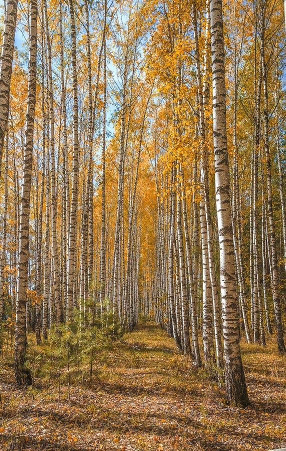 Härlig höstskog med yelowbjörkar royaltyfri bild