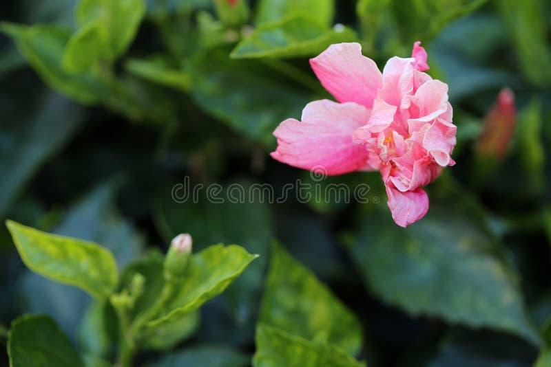 Härlig Halva-öppnad rosa ros med gröna sidor i bakgrunden arkivfoton