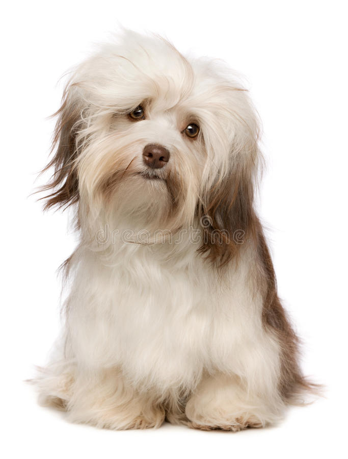 härlig havanese chokladhund arkivfoton
