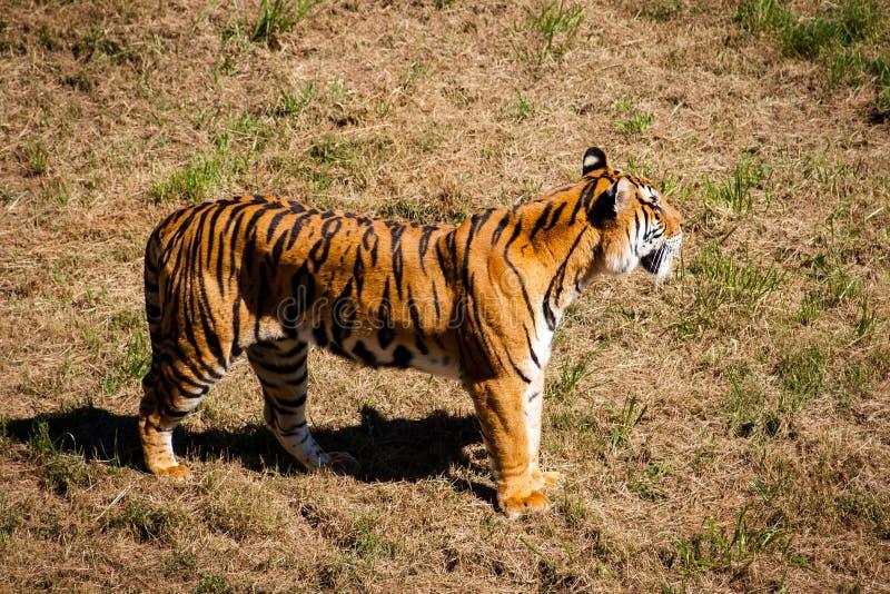 Härlig hellång tigerPanthera tigris med gräsbakgrund arkivbild