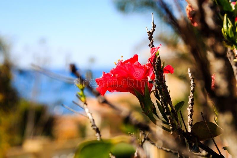 härlig hibiskusred arkivfoto