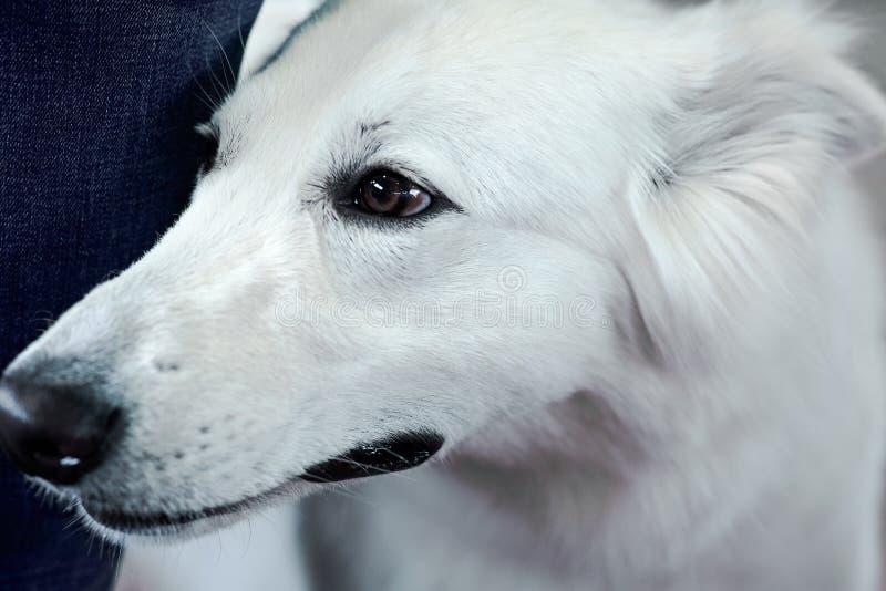 Härlig hund av vit färg för snö Nära övre stående, klok blick royaltyfri foto