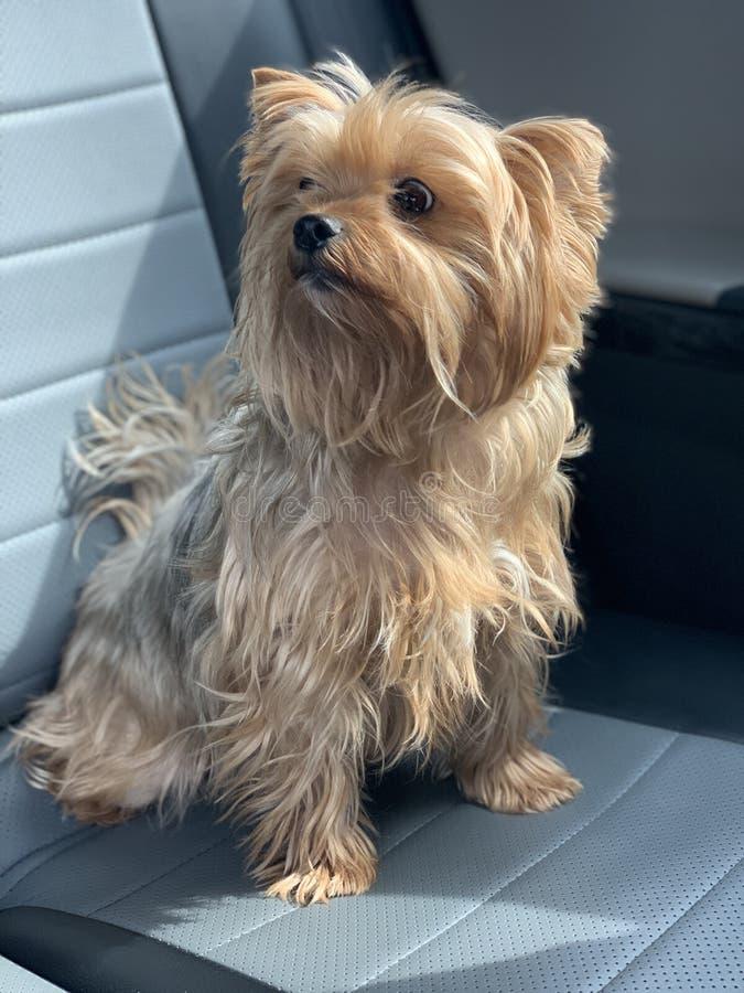 Härlig hund i bil arkivfoto