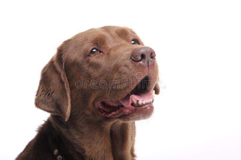 Härlig hund labrador framme av en vit bakgrund royaltyfri bild