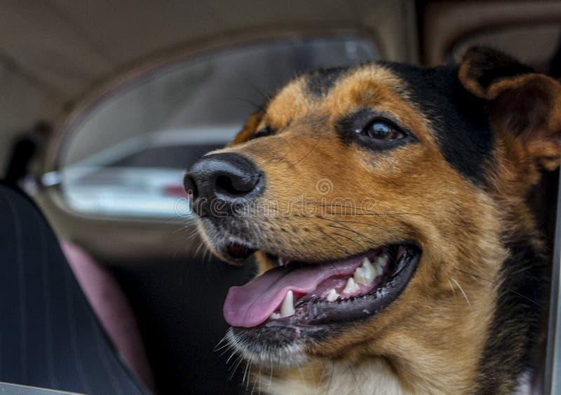 härlig hund med den öppna munnen arkivfoto