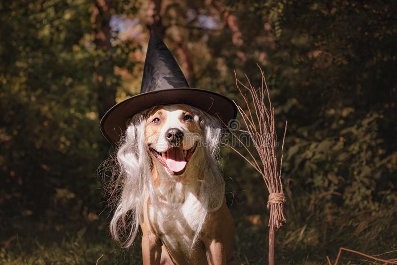 Härlig hund med kvastskaftuppklädden för halloween som vän arkivfoto