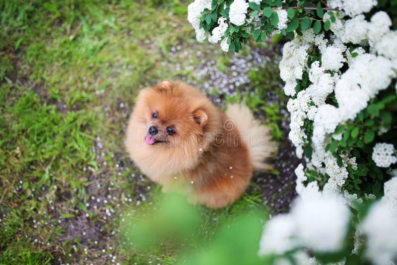 härlig hund Near blomstra vit buske för Pomeranian hund Pomeranian hund i en parkera förtjusande hund lycklig hund arkivfoto