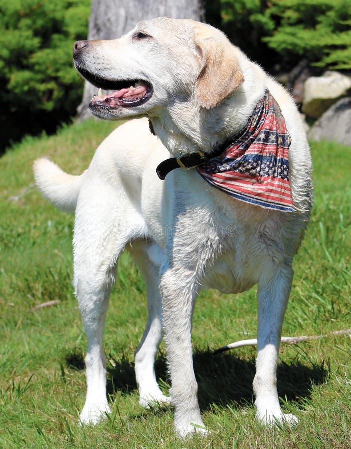 Härlig hund som bär en patriotisk hund för USA bandanna royaltyfria foton