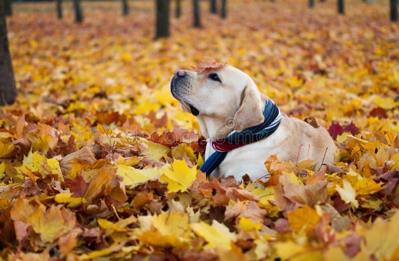 Härlig hundbildlabrador i höstsidor höstlabrador leaves Hund och höst royaltyfri bild