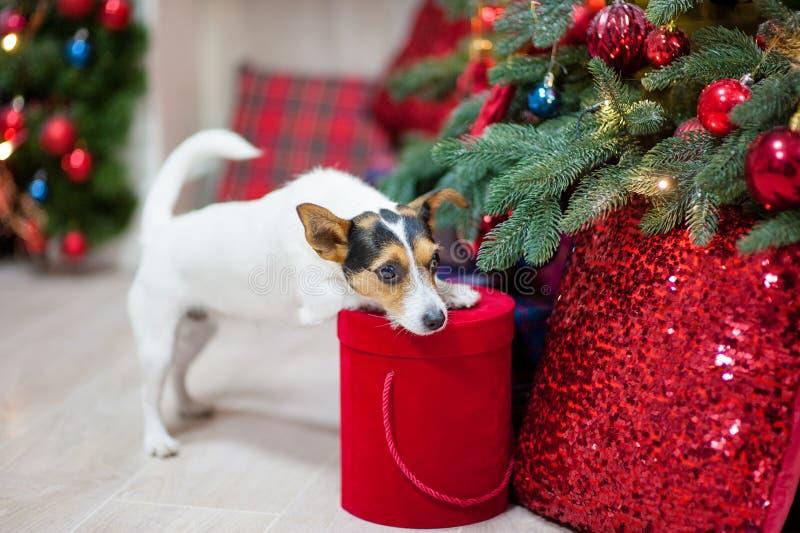 Härlig husdjurhund med julgåvaasken nära xmas-träd med beträffande royaltyfri fotografi