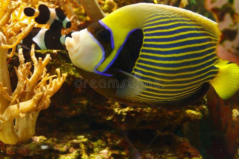 Härlig imperator för kejsarehavsängelPomacanthus bland korallreven royaltyfria foton