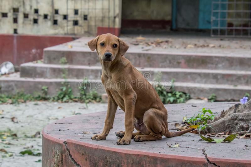 Härlig indisk väghund som stirrar på mig arkivbild