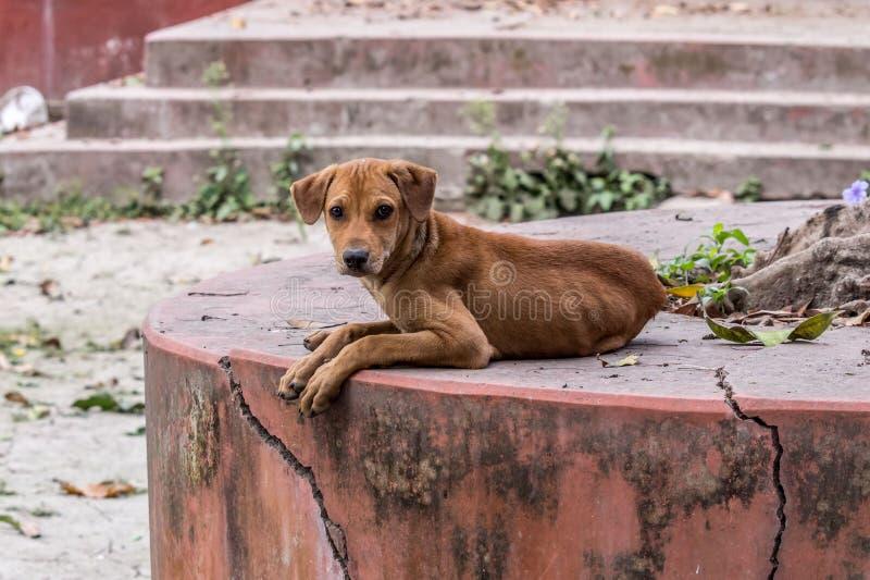 Härlig indisk väghund som stirrar på mig royaltyfri foto