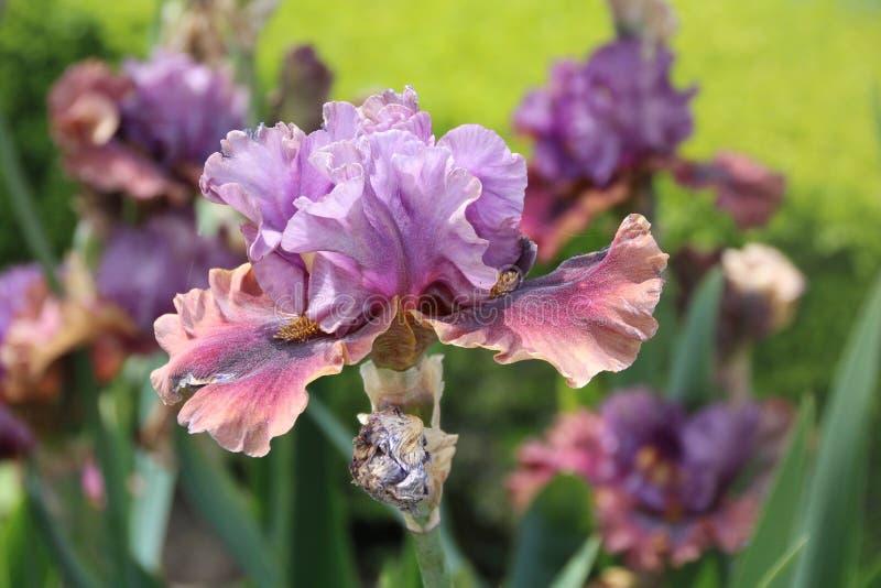 Härlig irisblomma i en vårblom, Paris trädgårdar arkivbild