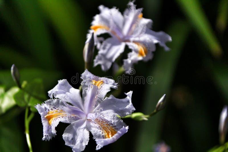 Härlig irisjaponica i trädgÃ¥rden fotografering för bildbyråer