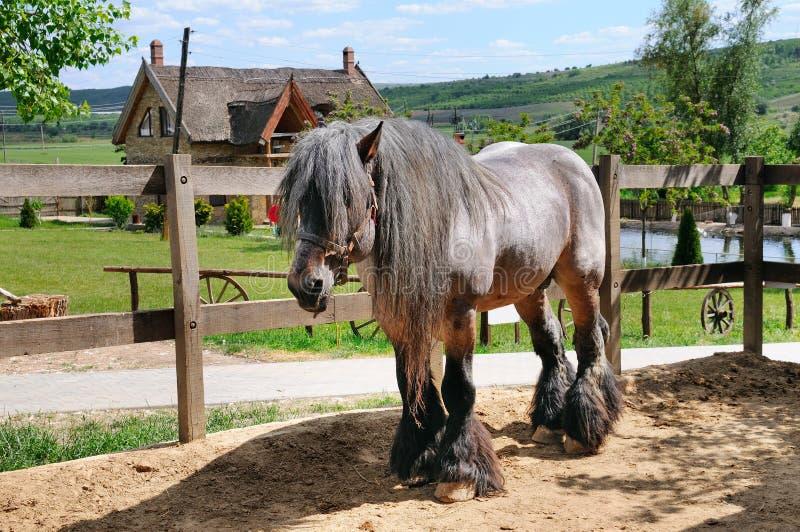 Härlig irländsk häst i en aviarium på en ranch royaltyfri fotografi