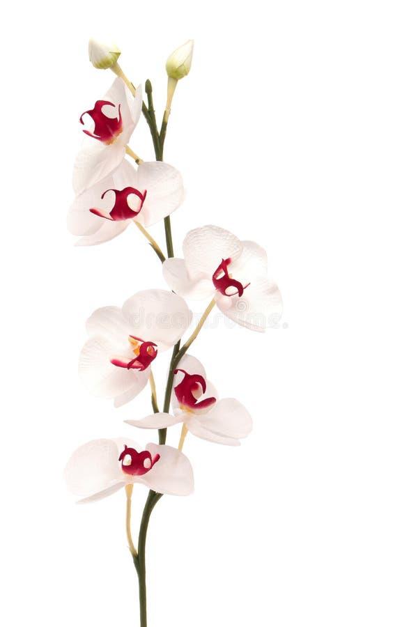 härlig isolerad orchidwhite royaltyfri fotografi