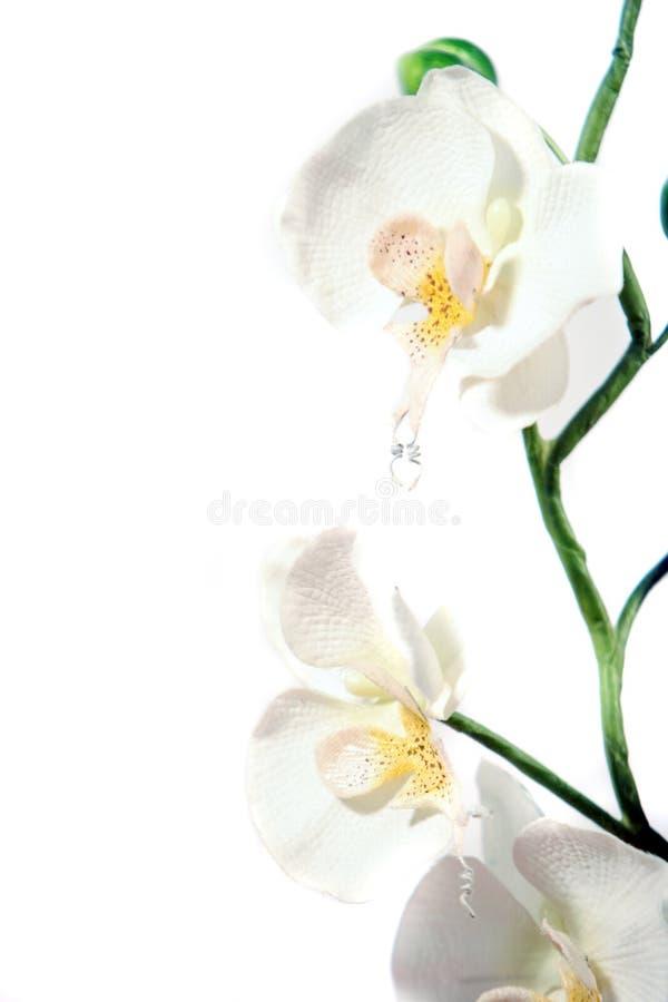 härlig isolerad orchidwhite för bakgrund arkivbilder