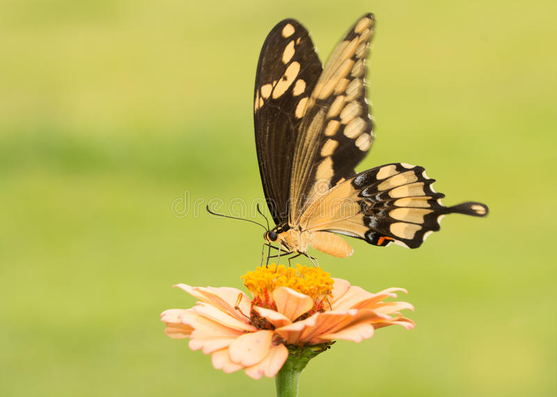 Härlig jätteSwallowtail fjäril på en blek orange Zinnia arkivbild