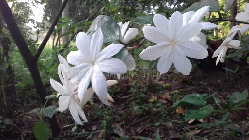 Härlig jasminblomma av Sri Lanka royaltyfria foton