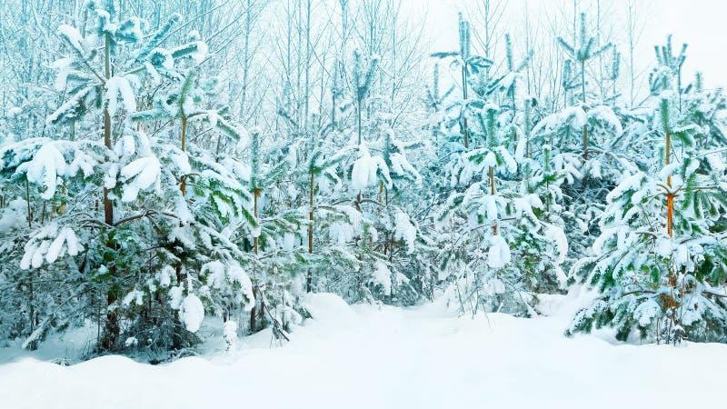 Härlig julgran i det insnöat den naturliga bakgrunden för vinterskogvinter royaltyfri foto