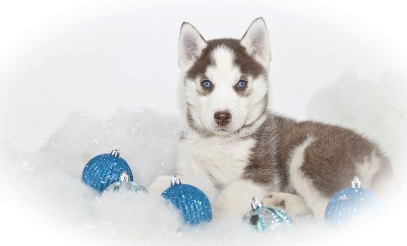 Härlig julHuskyvalp royaltyfri foto