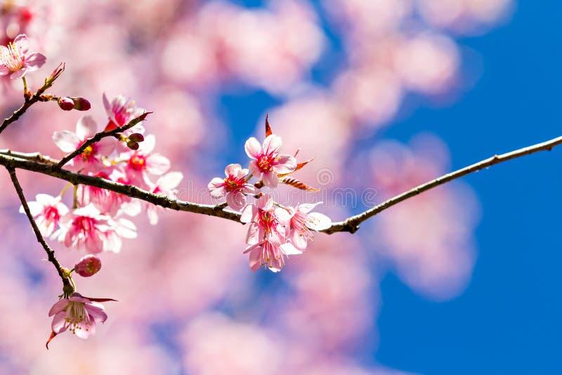 Härlig körsbärsröd blomning eller sakura arkivbilder
