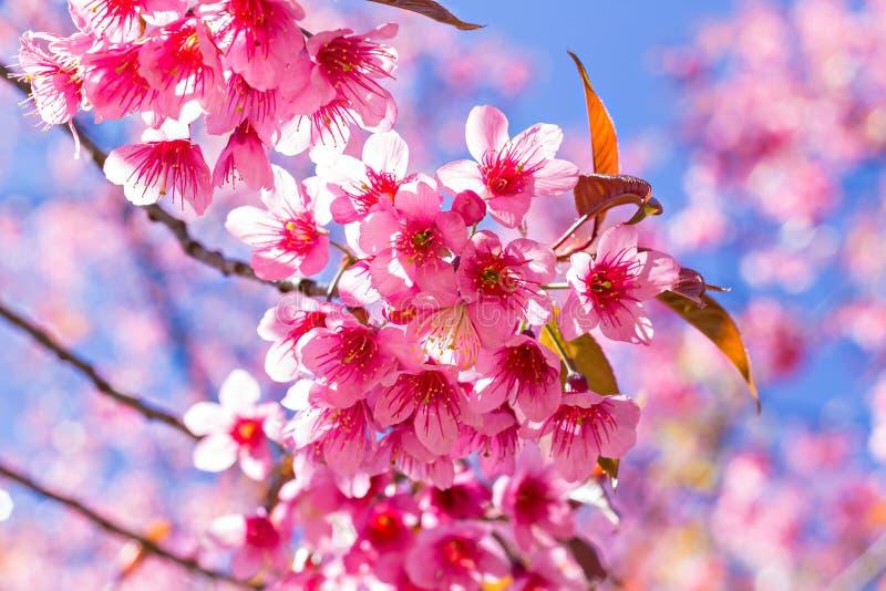 Härlig körsbärsröd blomning eller sakura arkivfoton
