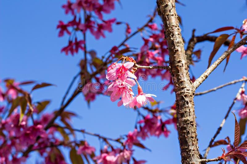 Härlig körsbärsröd blomning eller sakura arkivfoto