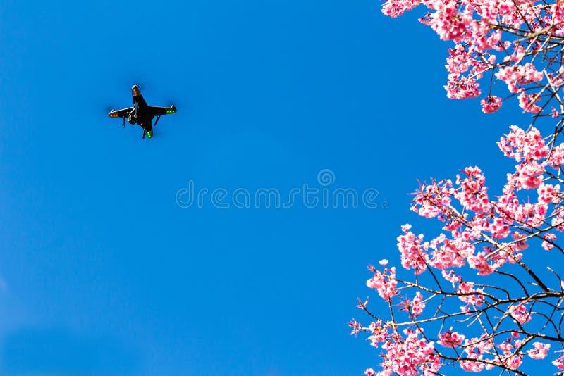 Härlig körsbärsröd blomning eller sakura med surret royaltyfri foto