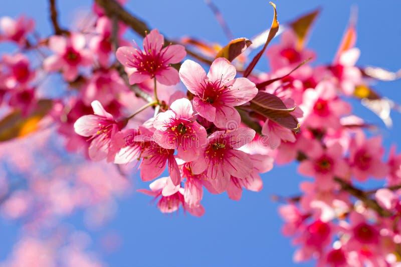 Härlig körsbärsröd blomning eller sakura med trevlig blå himmel royaltyfria bilder