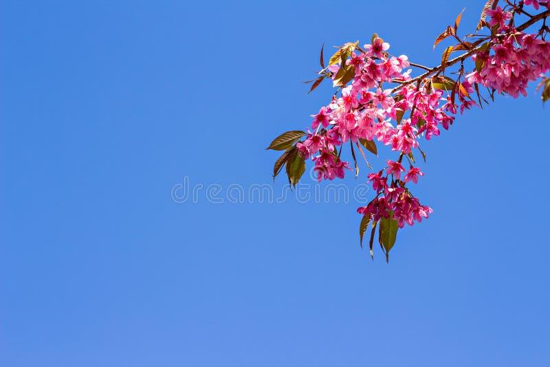 Härlig körsbärsröd blomning eller sakura med trevlig blå himmel royaltyfri foto