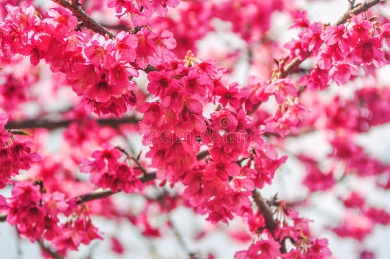 Härlig körsbärsröd blomning sakura i vårtid över ljus himmel arkivfoton