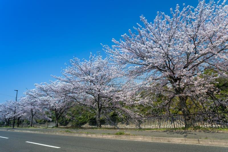 Härlig körsbärsröd blomning som blommar med blå himmel fotografering för bildbyråer
