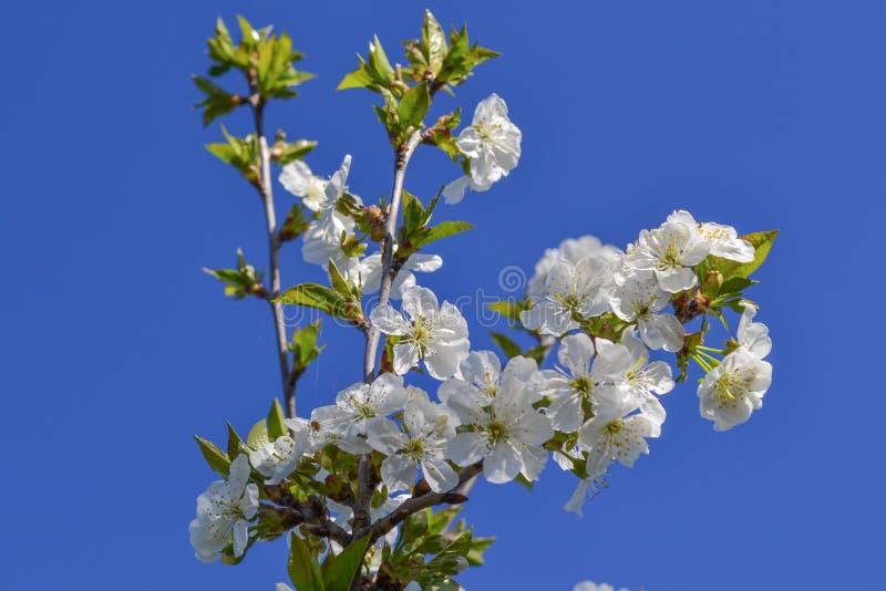 Härlig körsbärsröd makro för sakura blommablomning royaltyfria foton