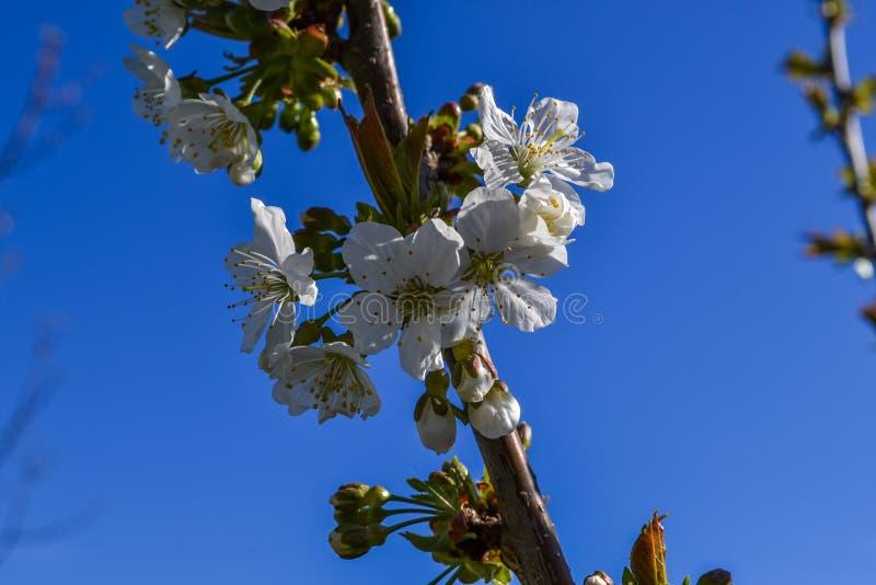 Härlig körsbärsröd makro för sakura blommablomning royaltyfria bilder