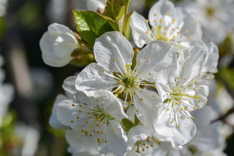Härlig körsbärsröd sakura blomningmakro arkivbild