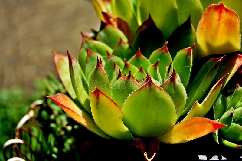 Härlig kaktus royaltyfria foton