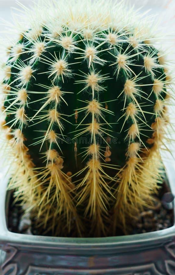 Härlig kaktus i en blomkruka på fönsterbrädan i lägenheten arkivbild