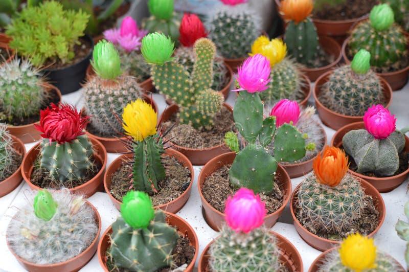 Härlig kaktus med blomman på mini- krukor royaltyfri bild