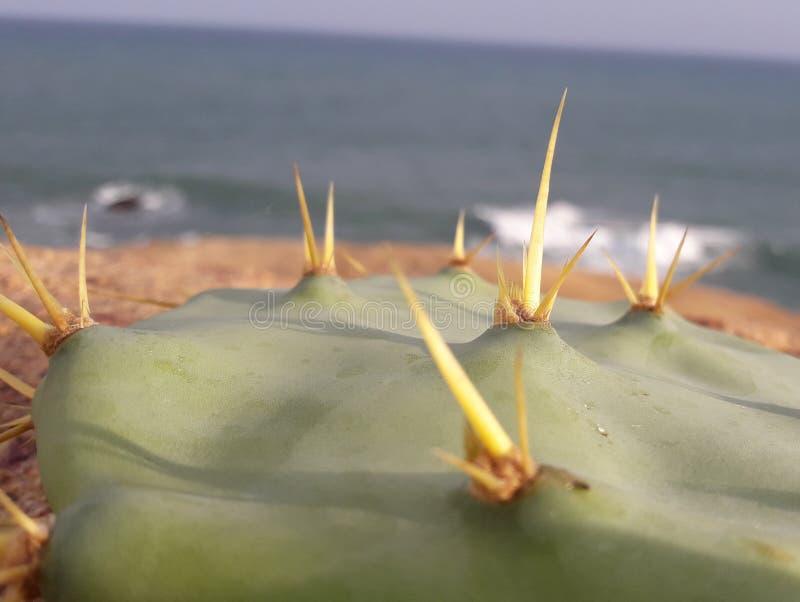 Härlig kaktusväxt i Sri Lanka arkivfoto