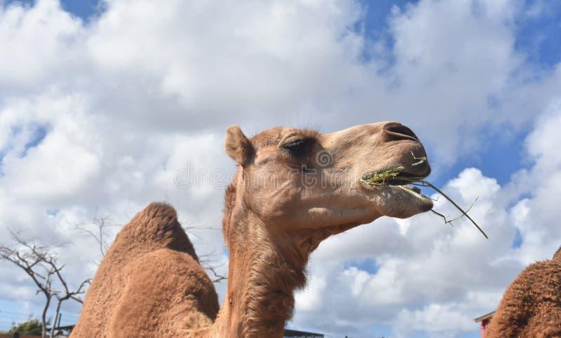 Härlig kamel med blåa himlar i bakgrund royaltyfri bild