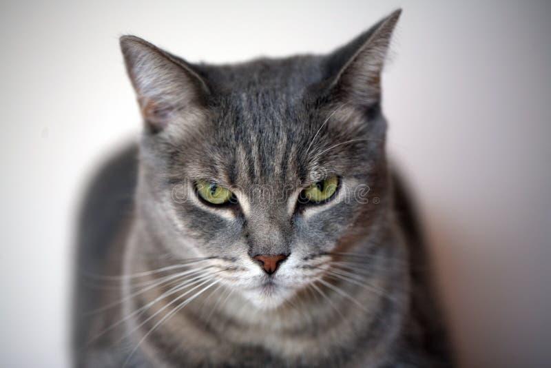 härlig kattgray arkivfoton