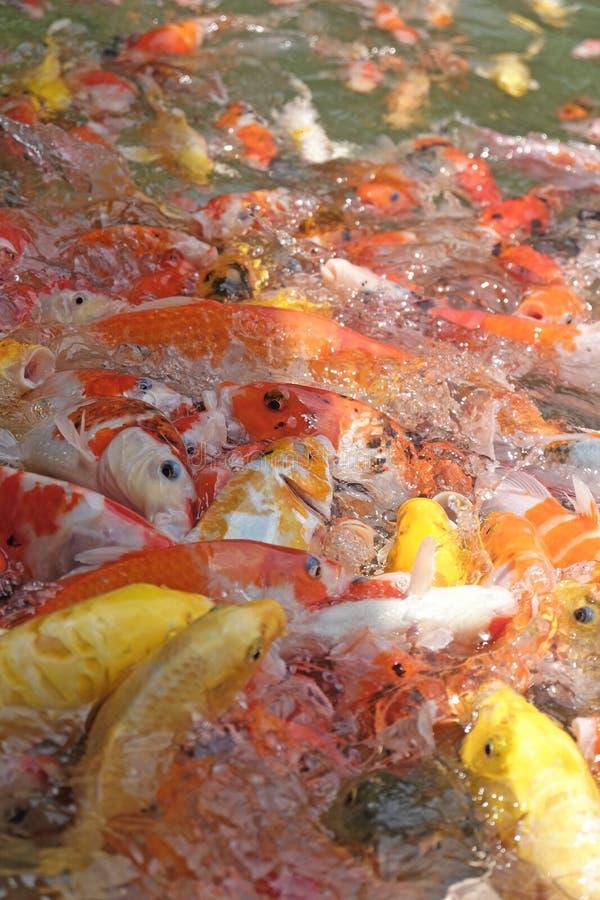 Härlig koifisk i fiskdammen royaltyfri bild