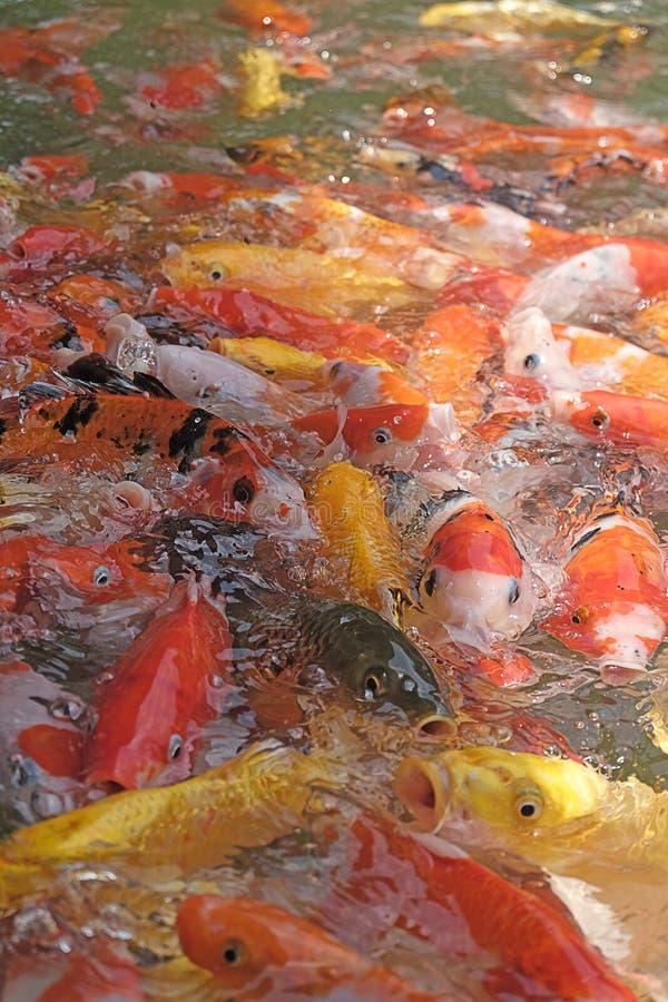 Härlig koifisk i fiskdammen royaltyfria bilder