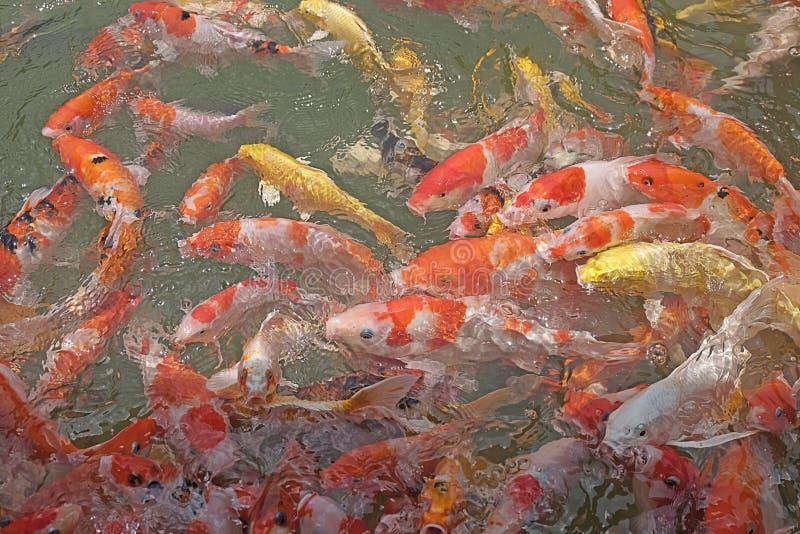 Härlig koifisk i fiskdammen royaltyfri foto