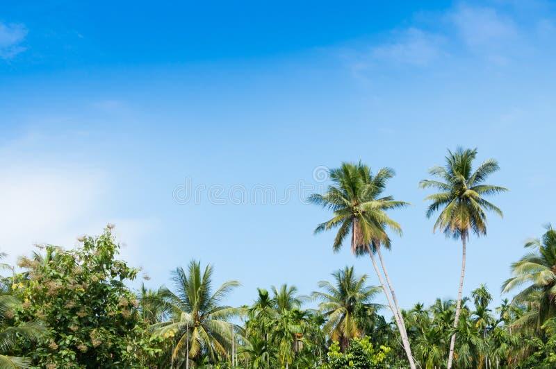 Härlig kokosnöt två gömma i handflatan träd i den tropiska skogen med blå himmel på ön arkivbilder