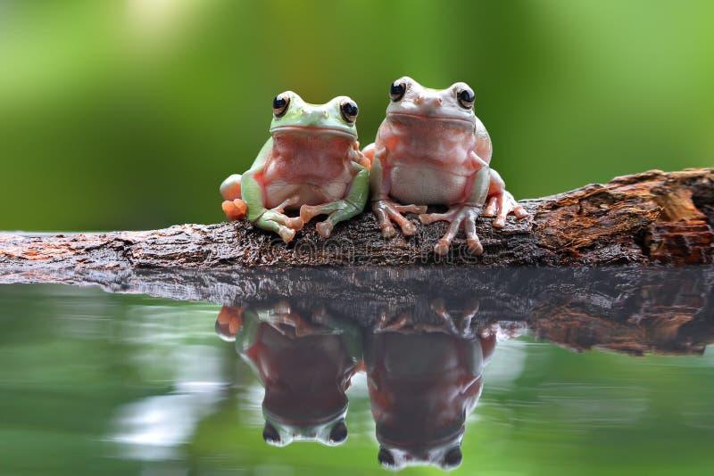 Härlig kort och tjock groda i reflexion royaltyfri fotografi