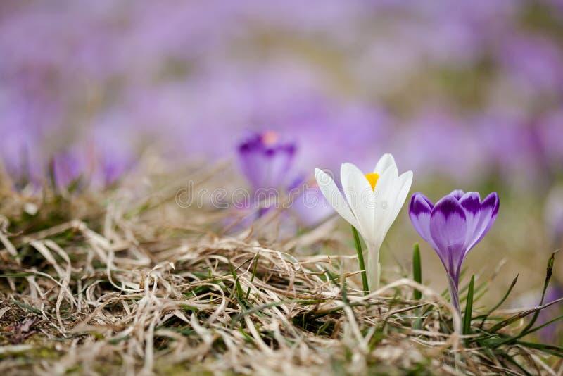 Härlig krokus blommar i Tatry berg fotografering för bildbyråer